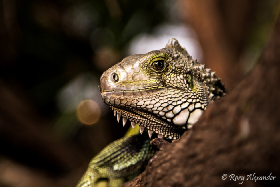iguana rory alexander photography
