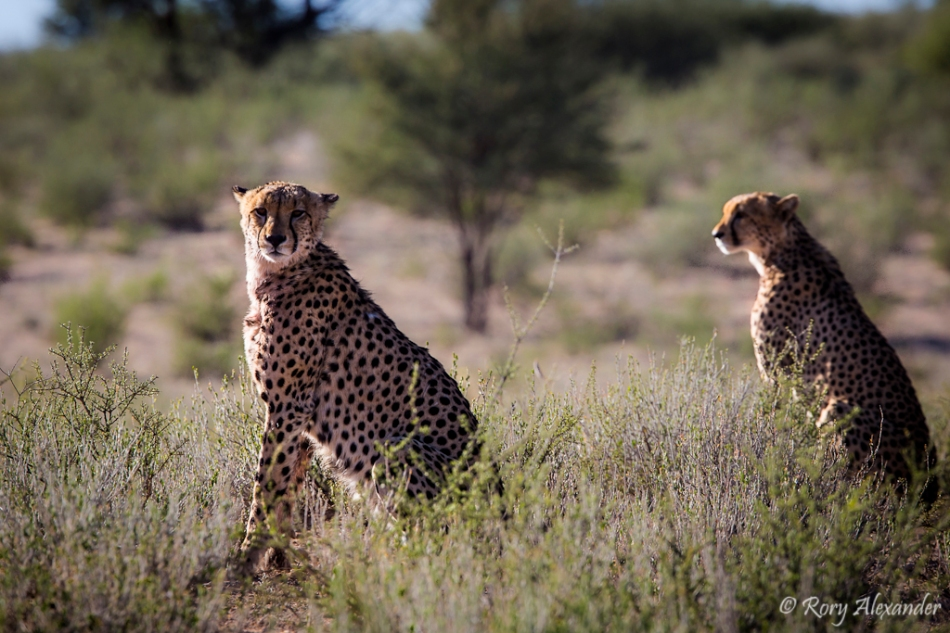 Cheetahs on the lookout Rory Alexander