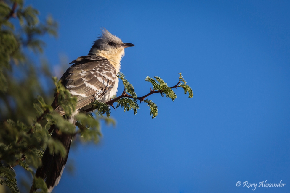 Great Spotted Cuckoo