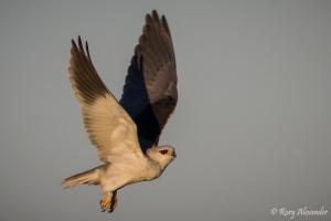 Black-shouldered Kite in flight