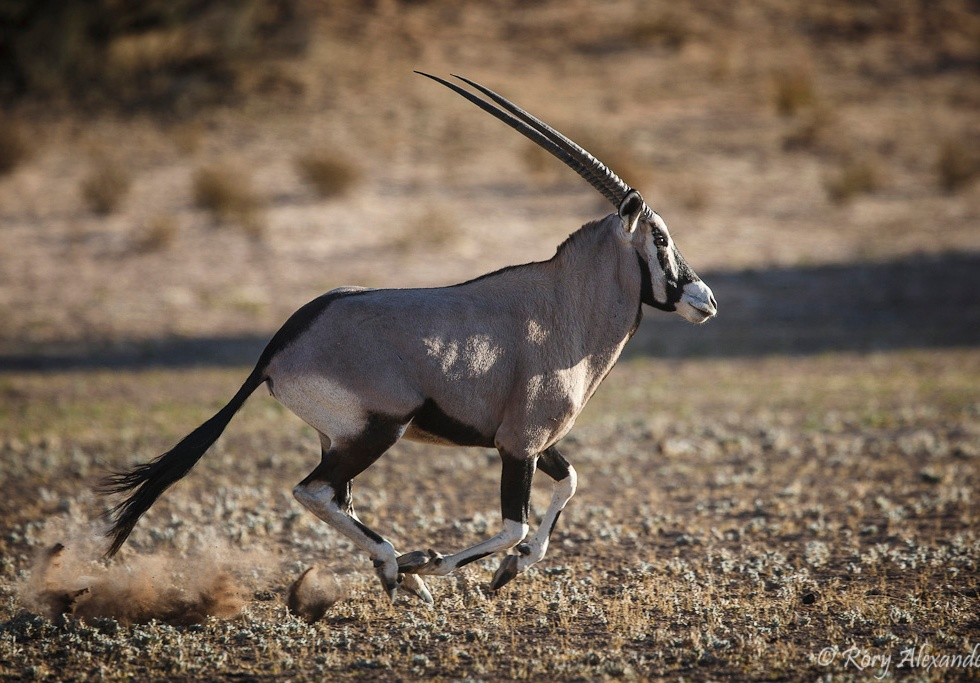 Gemsbok running by Rory Alexander