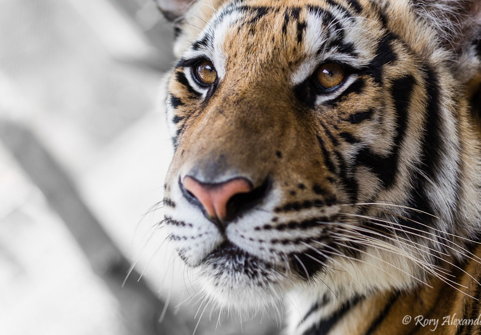 Portrait of an Indochinese tiger in Thailand