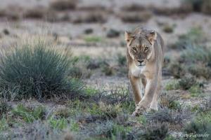 Lion walking Kgalagadi dusk