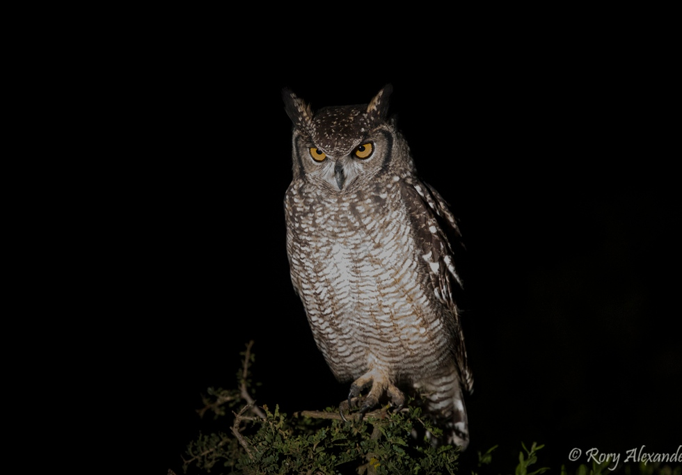 Spotted Eagle Owl on a night game drive in Addo