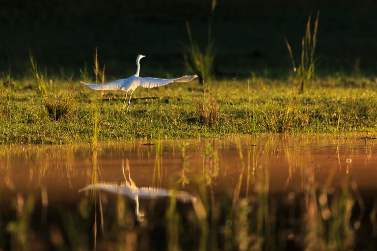 Great white Egret takes flight Lake Kariba Zimbabwe-5945