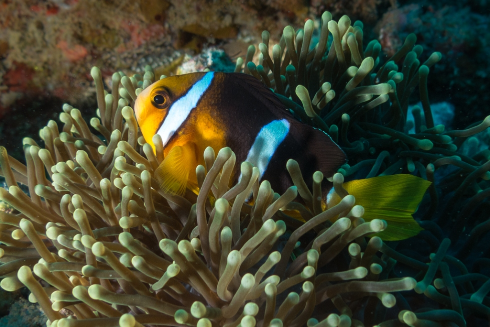 Clark's Anemonefish or yellowtail clownfish hiding in an sea anemone