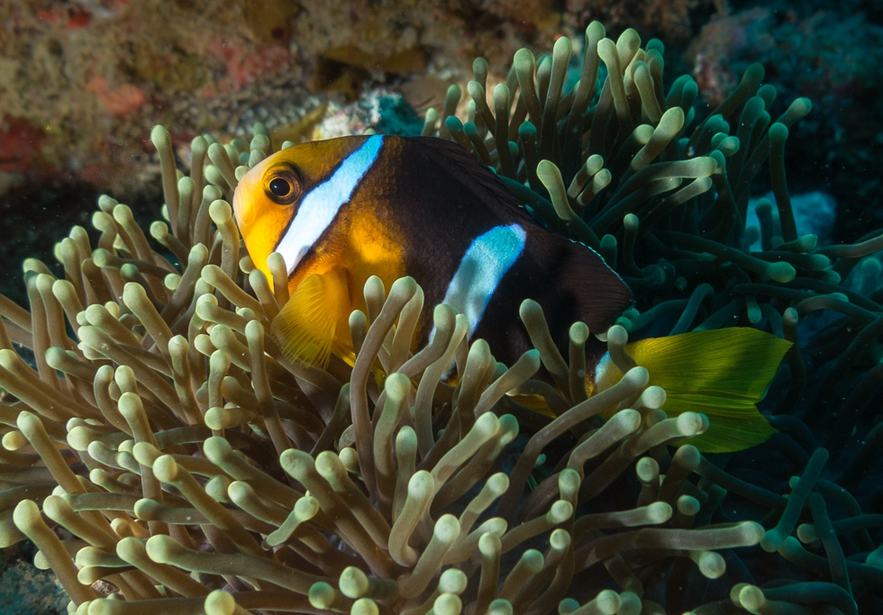 Clark's Anemonefish or yellowtail clownfish hiding in an sea anemone
