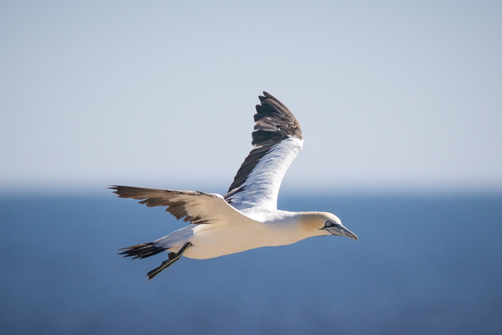 Cape gannet in flight Lambert's Bay